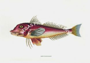 Gurnard, Red